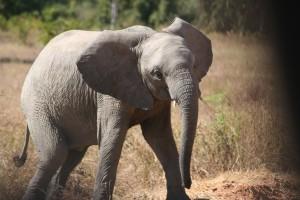 Mock charge baby elephant