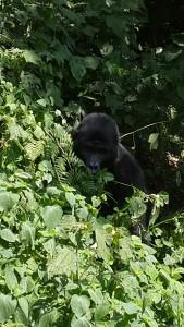 Gorillas1