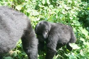 Gorillas14