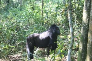 Gorillas6