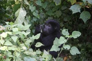 Gorillas7