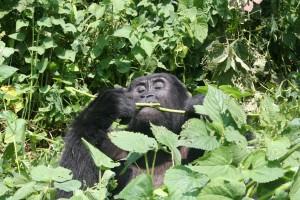 Gorillas8