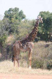 Giraffe2