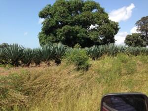 Sisal plantations