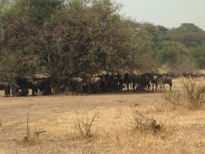 Wildebeest clumps